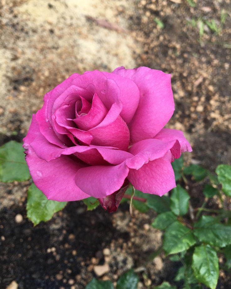 Shocking Blue the Rose