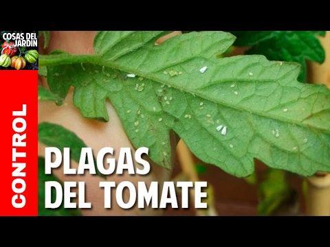 Guía Completa para eliminar esa porqueria de hongos en tus tomates @cosasdeljardin - YouTube
