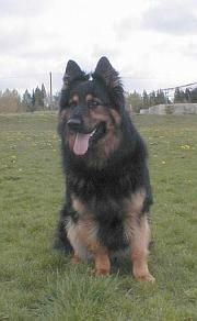Chodský pes Cid Stamo-Bud