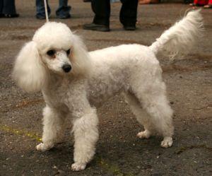 anjing lucu Poodle