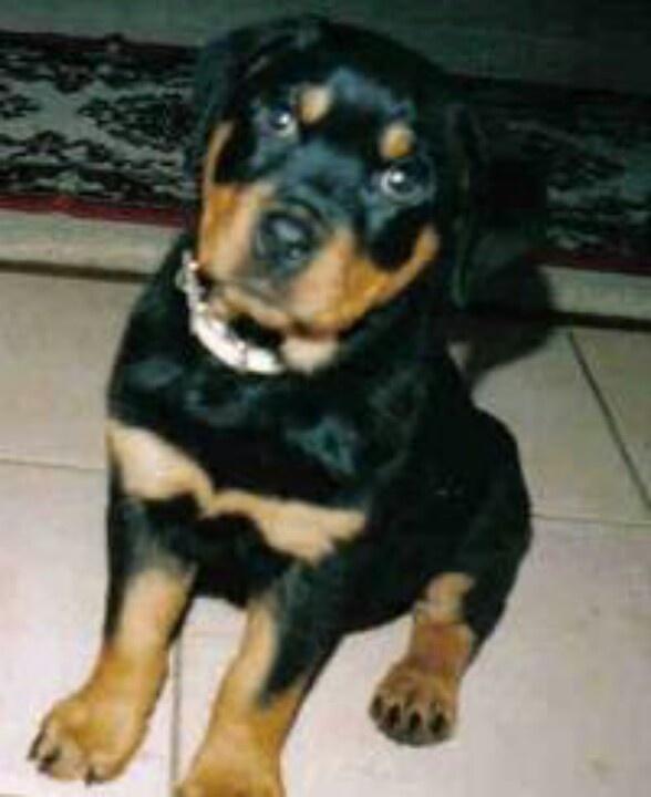 mix rottweiler puppy-#30