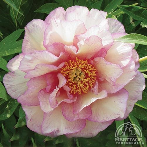 Plant Profile for Paeonia 'Smith Family Jewel' - Itoh Hybrid Peony Perennial