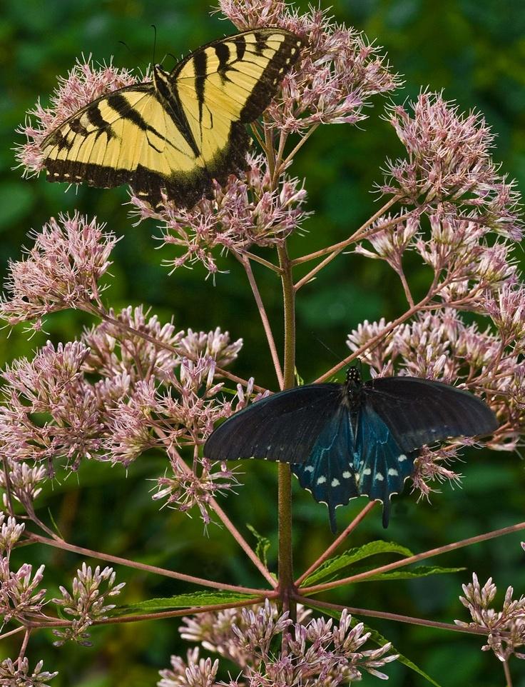 Kentucky Native Plant And Wildlife: Plant Of The Week: Hollow Stemmed  Joe Pye Weed (Eupatorium Fistulosum)   My Kentucky   Pinterest   Plants,  Gardens And ...