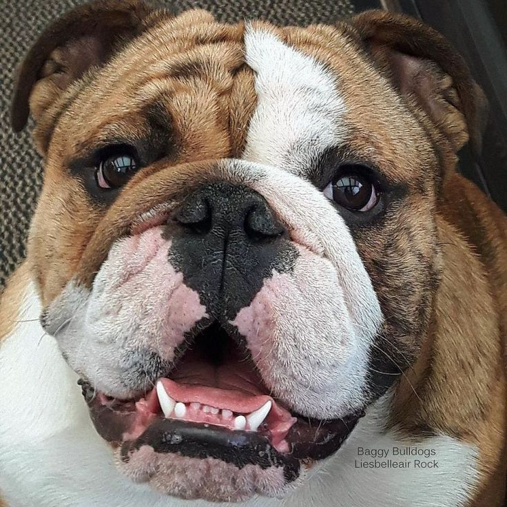 All about English Bulldogs