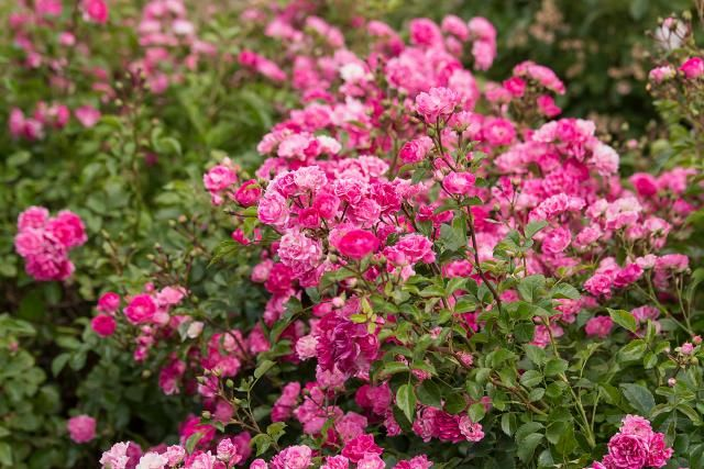 Simple Rose Garden: ROSE Images On Pinterest