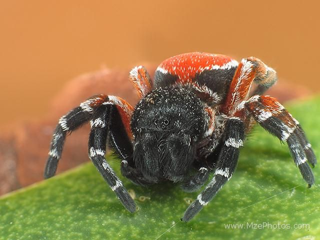 Face of a Ladybird Spider Sitting on a Leaf