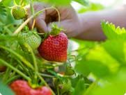 The taste of summer itself, strawberries are a snap to grow.