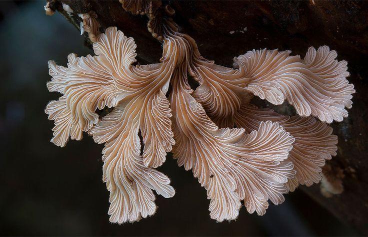 Schizophyllum Commune                                                                                                                                                                                 Mehr
