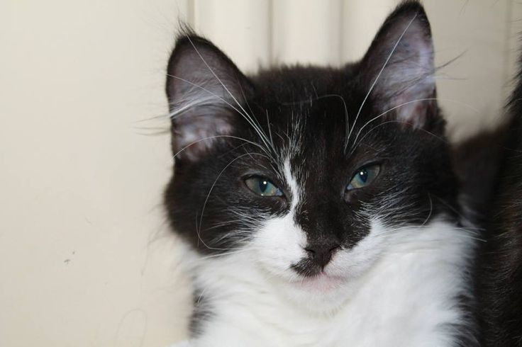 Meet Alex.     Alex is an 8 week old Domestic Medium Hair with the most precious soul.    If you have room in your heart and home for our darling boy- he is ready and waiting to be adopted.    Alex has been;  Vet Checked   Desexed   Vaccinated   Microchipped: 982000362821949   Worm and flea treated    For further information about Alex please contact our shelter on 03 5427 3603 or via email to shelter@petshaven.org.au    Alex like all of our animals comes with 4 weeks FREE Pet Insurance…