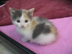 86 best CALICOS & TORTIES images on Pinterest   Calico ...   300 x 225 jpeg 17kB