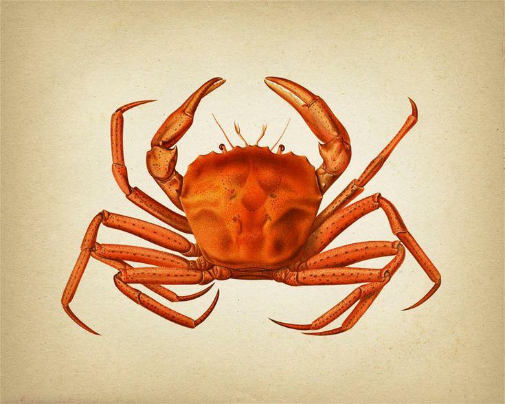 Crab Series 2 – SC-02 – Fine art print of a vintage natural history antique illustration – ConfessionsOfABookLover