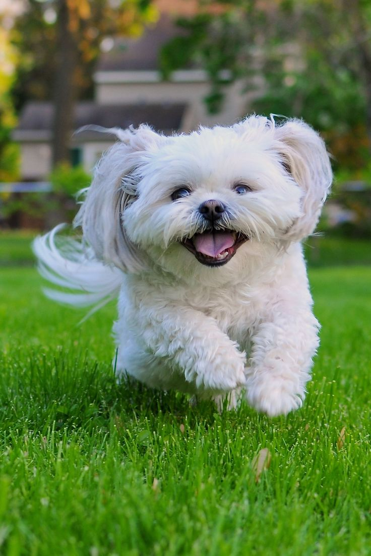 Just 43 Pictures Of Sweet And Fluffy Small Dog Breeds You Ll Want To Snuggle Right Away Quiet Dog Breeds Small Dog Breeds Miniature Dogs