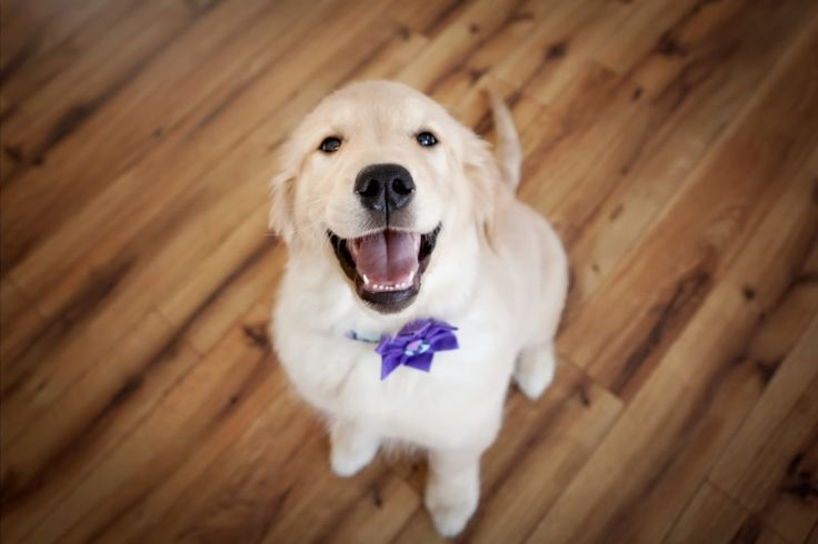 Golden Retrievers puppies for sale Orland Park, IL