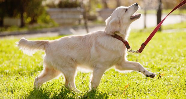 Golden Retriever Obedience Training Dog Training Training Your