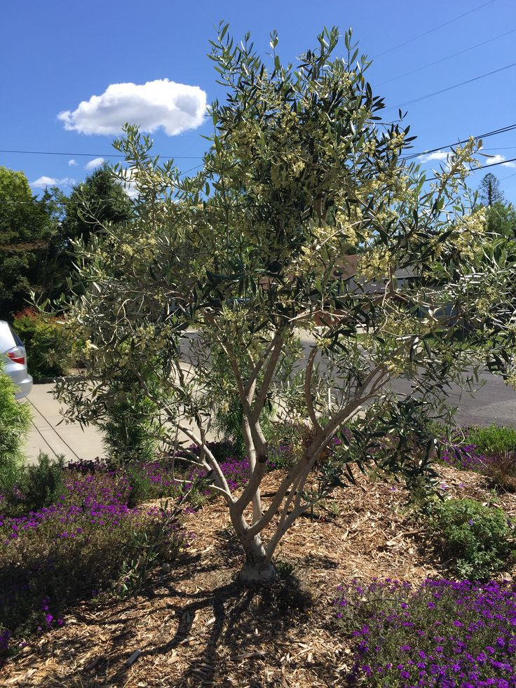 25 trending pruning olive trees ideas on pinterest how for Growing olive trees indoors