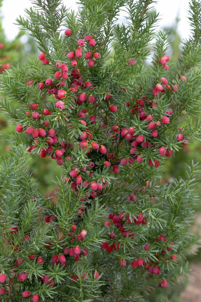 taxus x media 39 hicksii 39 common name hick 39 s yew it is. Black Bedroom Furniture Sets. Home Design Ideas