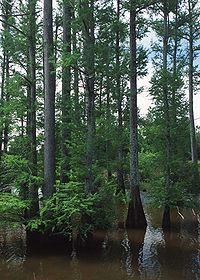 Louisiana state tree  Bald Cypress