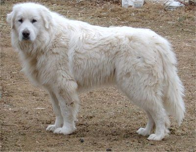 Great Pyranees-one of my dream doggies(: