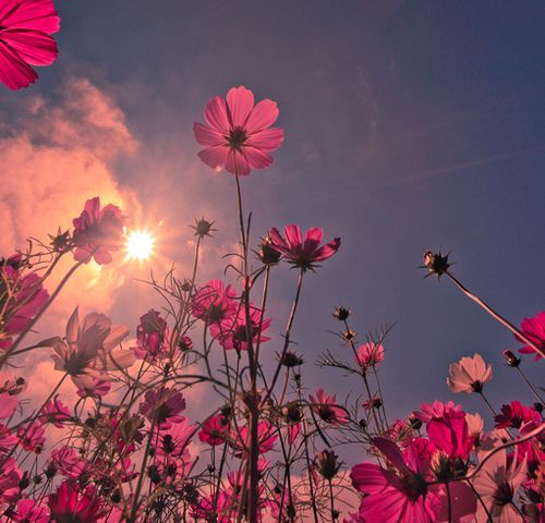 flowers & sunshine :): Flowers Gardens, Pink Flowers, Flowers Fields, The Kiss, Blue Sky, Cosmo, Real Beautiful, Summer Sunshine, Pretty Pictures