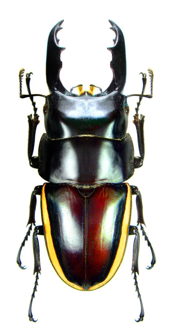 Prosopocoilus wallacei