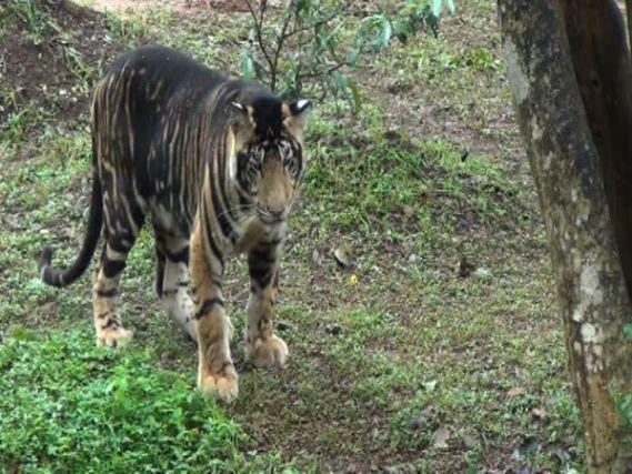 Melanistic tiger at Na...