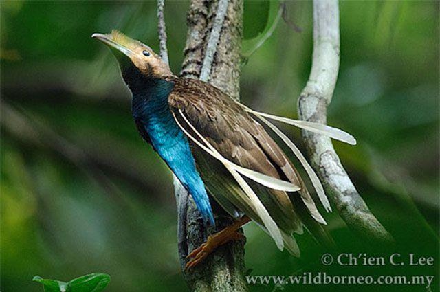 Kawasan Pengamatan Burung Bidadari (Wallace's Standardwing Birdwatching Area)