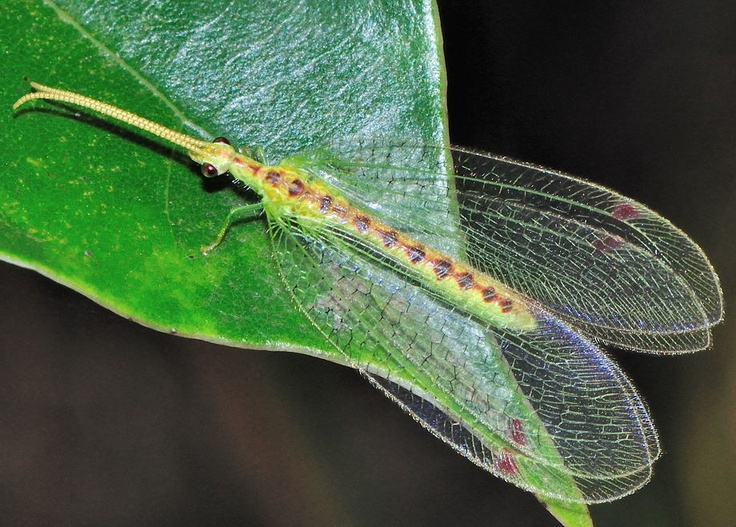 Green lacewing bug | Luscious Lacewings | Pinterest ...