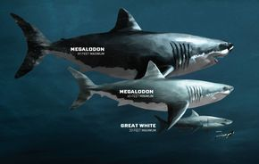 Megalodon went extinct 2.6 million years ago, but our fascination with the largest shark that ever lived is timeless. Meet the largest predator in vertebrate history.