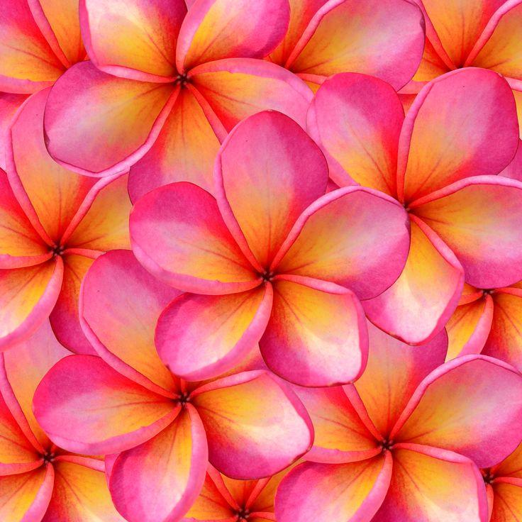 #Frangipani flower: beautiful colours!