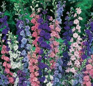 white larkspur means joyful or happy-go-lucky and purple larkspur means first love.