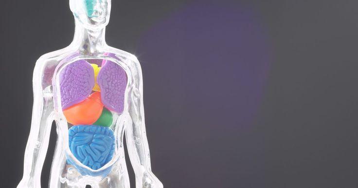 Funções dos orgãos humanos. Cada sistema do corpo tem seus órgãos que provém as funções necessárias para a vida. Cada órgão humano é feito de tecidos que permitem que ele faça suas funções. Por exemplo, as proteínas sintetizadas nos pulmões são completamente diferentes das sintetizadas no coração. Os sistemas do corpo humano incluem o digestivo, nervoso, cardiovascular, ...