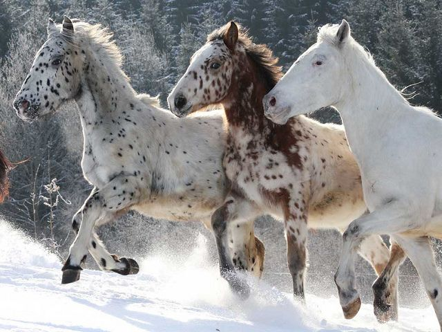 Knabstrupper - appaloosa horses running in the snow