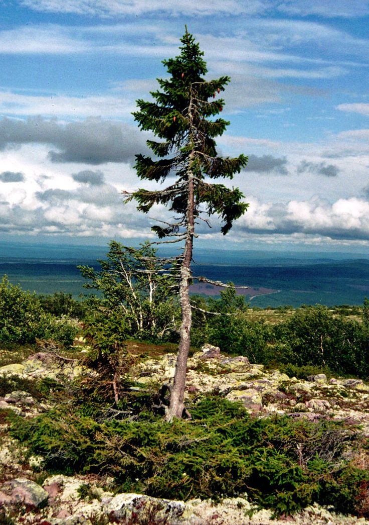 Old-Tjikko- the oldest tree in sweden