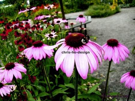 Enchinea purpurea 1 - bilde A4 str. p� bomullspapir