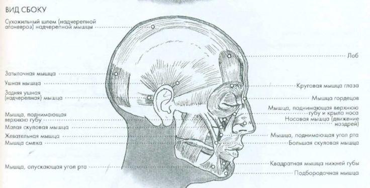 Файл:Анатомия html 17910782.jpg