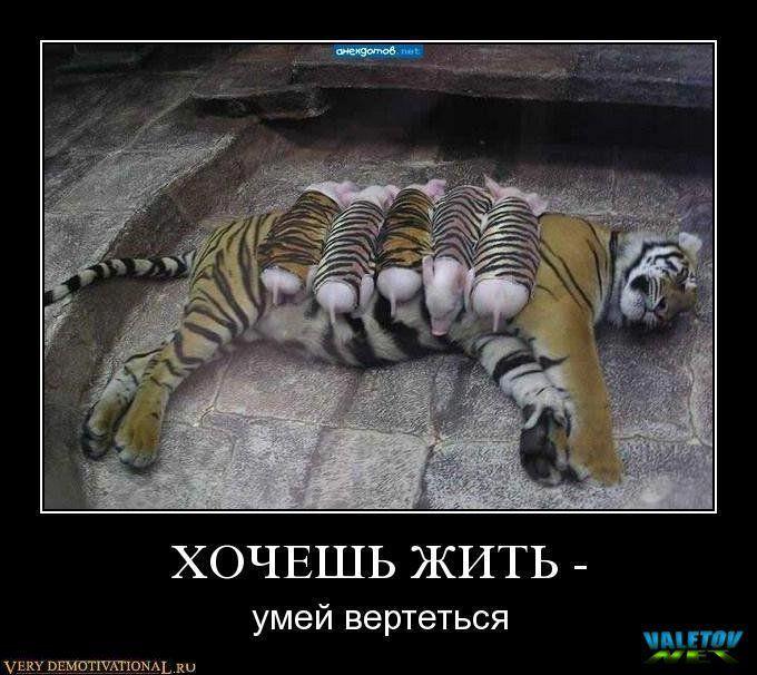 Картинки с тиграми с надписью про жизнь