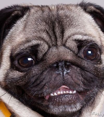 Cute pug showing his bottom teeth