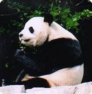 Tian Tian, the Zoo's male giant panda