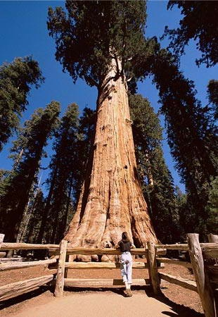 California Cool: The world's biggest tree is General Sherman, a giant sequoia that's 275 feet high with a trunk volume of about 1,487 cubic meters. It is located in Giant Forest within Sequoia National Park east of Visalia, Calif. General Sherman is believed to be between 2,300 and 2,700 years old.: Sequoia National Parks, Giant Forests, Trunks Volume, Trees Bomen, Biggest Trees, Sherman Trees, Parks East, The World, National Forests