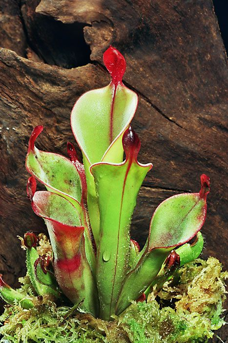 Heliamphora chimantensis [Family:	Sarraceniaceae] is a species of marsh pitcher plant endemic to the Chimantá Massif in Venezuela.