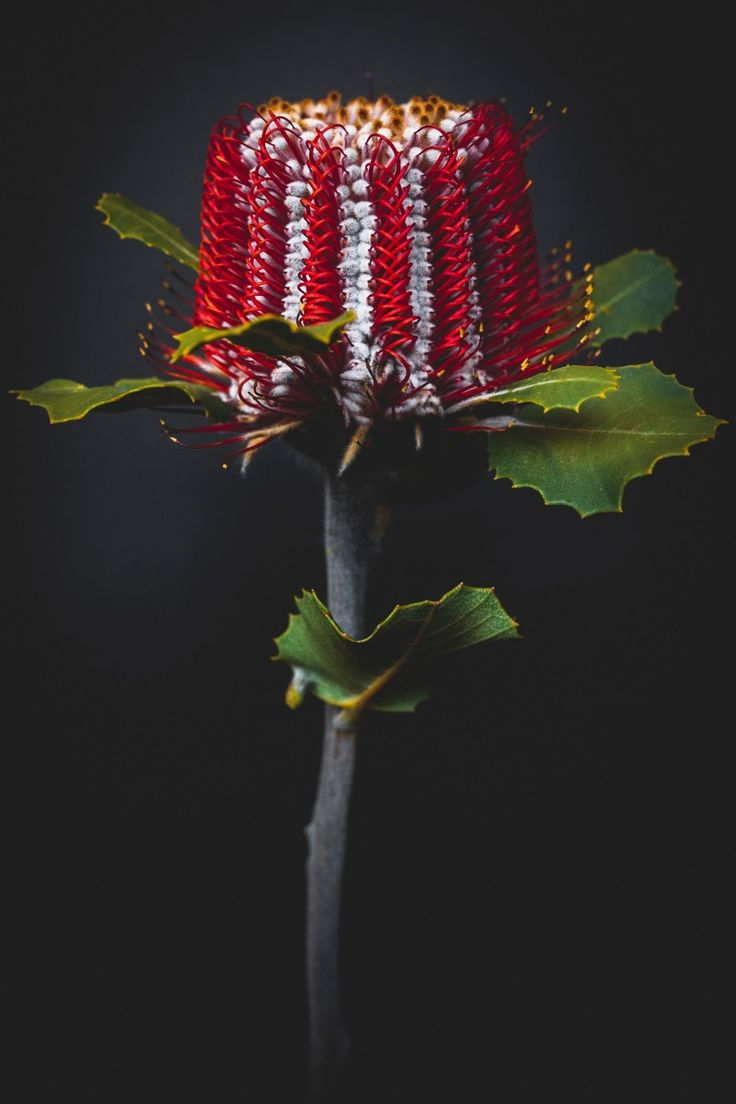Banksia coccinea-- I haven't seen this one before. It's fun to go down under.