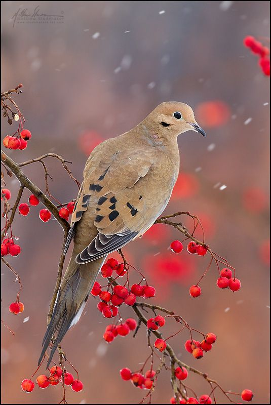 Mourning Dove, Ohio - Love the sound of their cooing in the morning, we have a nest just outside one window.