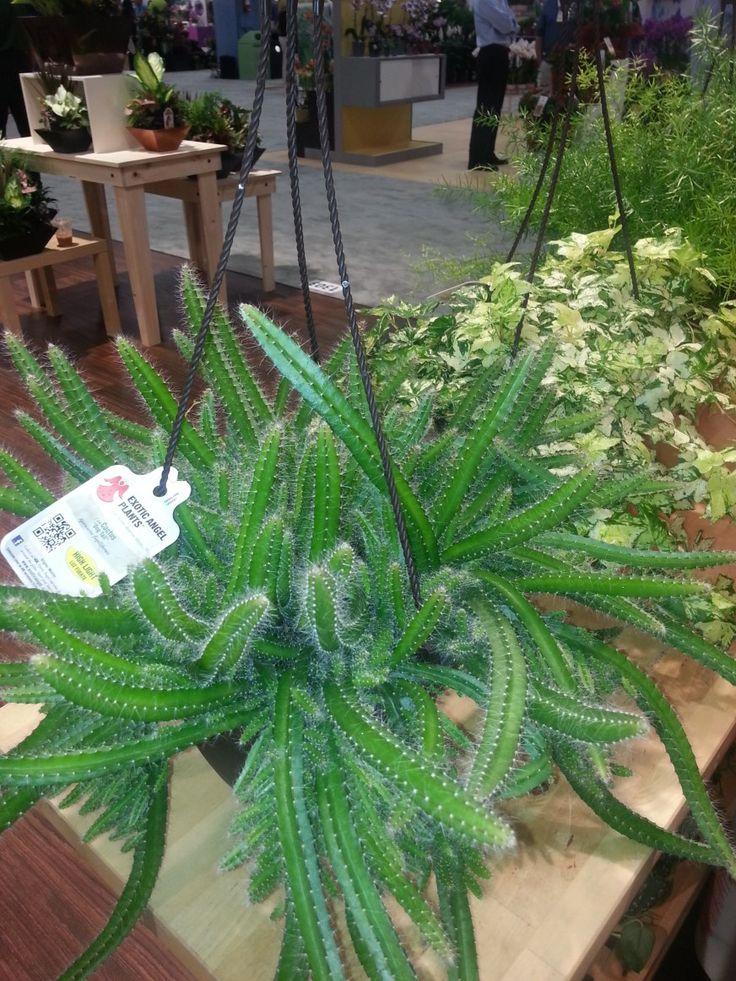 Dog Tail Cactus Selenicereus Testudo I Have This It