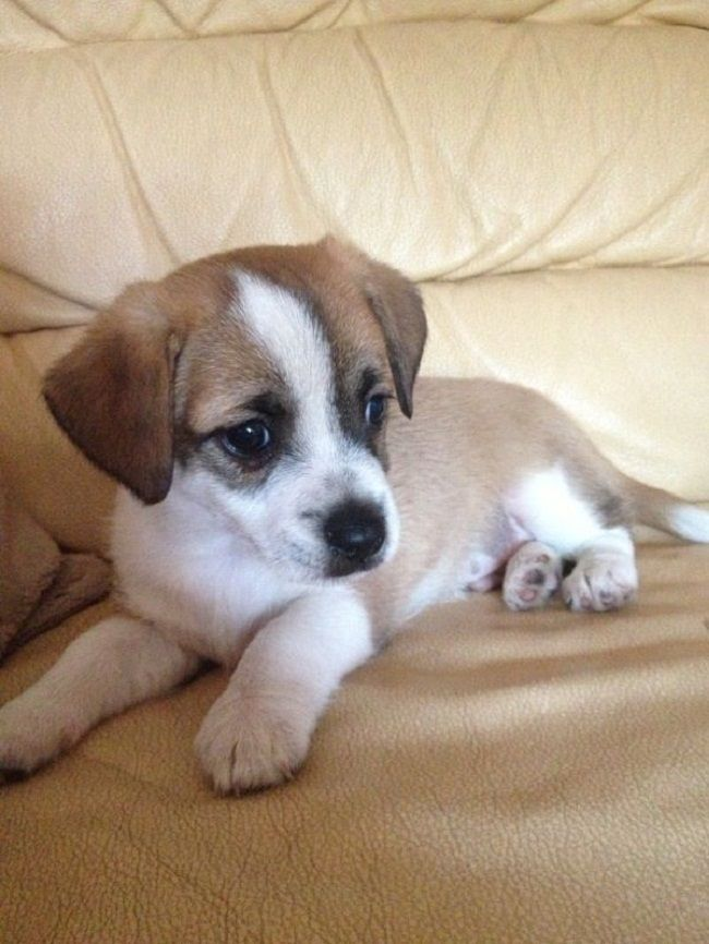 chiuaua jack russell terrier mix 1000 ideas about jack russell mix on pinterest russell 6670