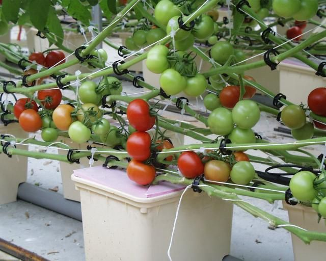 Hydroponic Tomatoes over Dutch Buckets