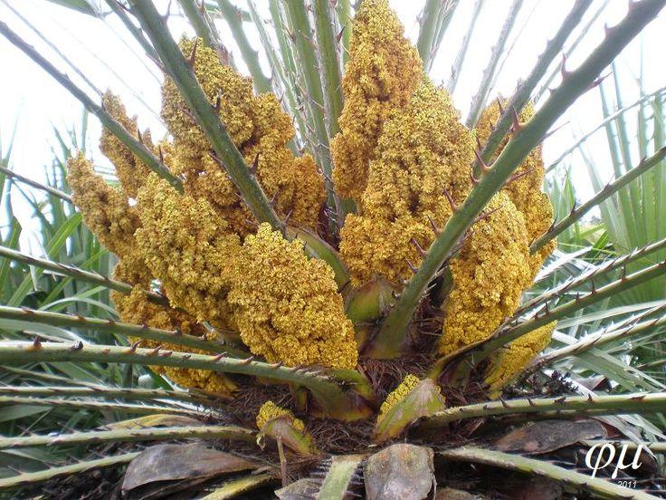 Floración Chamaerops humilis