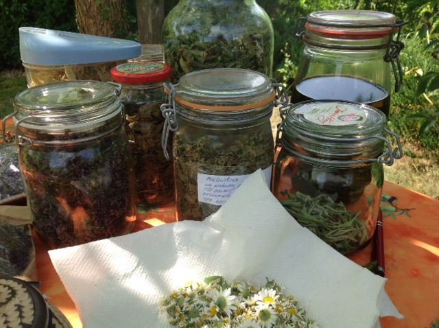 Drying herbs of the garden for the winter