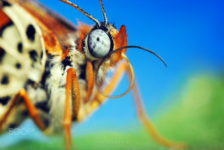 Butterfly macro  #detail #blue #butterfly #colorful #insect #macro #orange #wildlife
