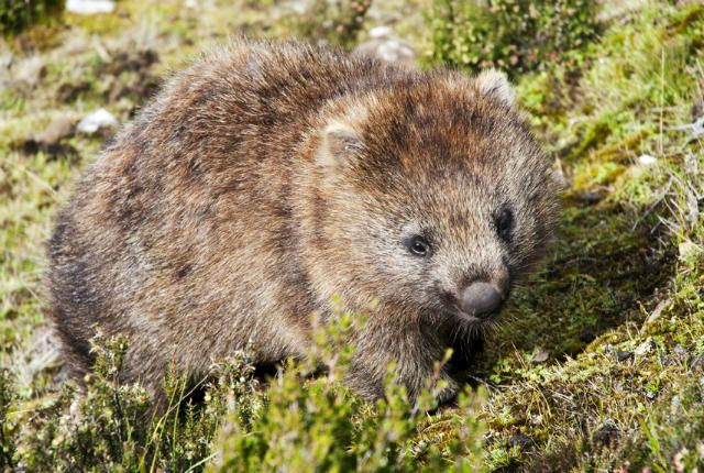 """How a Wombat Became a Famous Art Muse - 