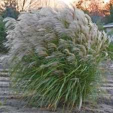 Autumn Anthem Grass Miscanthus -Gorgeous, feathery plumes herald the arrival of fall. Dark green leaves with a narrow white midrib form rounded clumps 5 to 5-1/2 feet tall. Abundant creamy plumes crown the top portion of this majestic plant beginning in early fall. Outstanding for focal points and perennial borders.